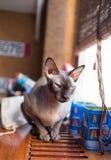 Gatto canadese dello sphynx Fotografie Stock Libere da Diritti