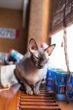 Gatto canadese dello sphynx Fotografia Stock Libera da Diritti