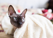 Gatto canadese dello sphynx Immagine Stock