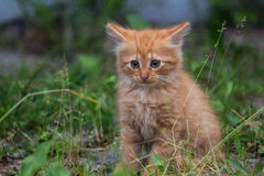 Gatto in Carpathians Fotografie Stock