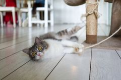 Gatto in Cat Cafe in Ubud fotografia stock