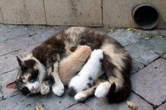 Gatto che alimenta due gattini Immagine Stock Libera da Diritti