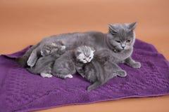 Gatto che allatta al seno i suoi bambini Immagini Stock