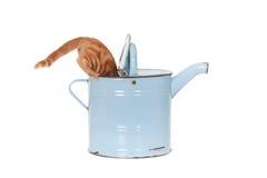 Gatto che beve dall'annaffiatoio Immagini Stock