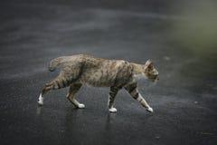 Gatto che cammina all'aperto Fotografia Stock