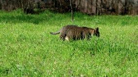 Gatto che cammina nell'erba verde stock footage