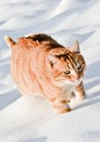 Gatto che cammina nella neve Fotografie Stock
