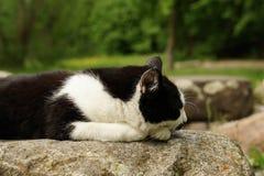 Gatto che dorme su una roccia Immagine Stock