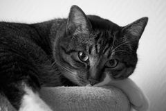 Gatto che esamina macchina fotografica in bianco e nero immagine stock