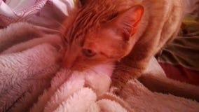 Gatto che fa le fusa e che impasta una coperta video d archivio