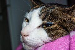 Gatto che fissa drowsily nella macchina fotografica Fotografie Stock