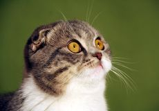 Gatto che fissa in su Immagine Stock