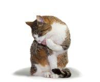 Gatto che governa la sua zampa Immagine Stock Libera da Diritti