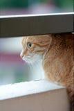 Gatto che guarda dal balcone Fotografia Stock