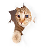 Gatto che guarda in foro lacerato laterale di carta isolato Fotografia Stock Libera da Diritti