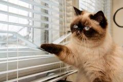 Gatto che guarda fuori attraverso i ciechi di finestra fotografie stock