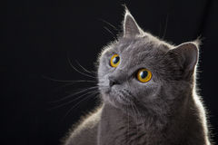 Gatto che guarda ritratto Fotografia Stock Libera da Diritti