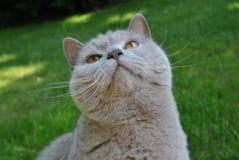 Gatto che guarda sopra Fotografia Stock