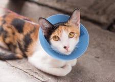 Gatto che indossa collare protettivo blu Immagine Stock