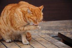Gatto che lecca la sua zampa Fotografia Stock