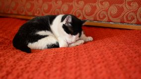 Gatto che lecca le sue zampe stock footage