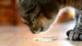 Gatto che mangia formaggio nella cucina video d archivio