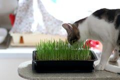 Gatto che mangia l'erba del gatto Immagini Stock