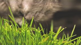 Gatto che mangia l'erba del gatto gatto grigio che mangia il colpo del primo piano dell'erba del catnip molto stock footage