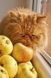 Gatto che odora e che lecca le mele fotografia stock