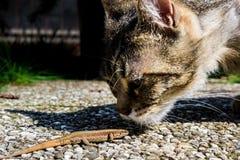Gatto che odora una lucertola Fotografie Stock Libere da Diritti