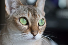 Gatto che osserva fuori una finestra Immagini Stock Libere da Diritti