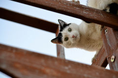 Gatto che osserva giù Immagine Stock