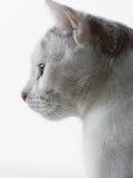 Gatto che osserva in su fotografia stock