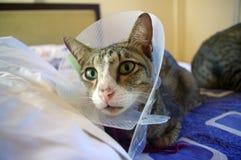 Gatto che porta collare protettivo Immagini Stock