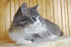 Gatto che propone davanti alla macchina fotografica Fotografie Stock