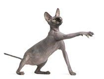Gatto che raggiunge, 9 mesi di Sphynx Fotografia Stock Libera da Diritti