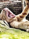 Gatto che rugge una volta sonnolento Fotografie Stock