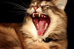 Gatto che sbadiglia Fotografia Stock Libera da Diritti