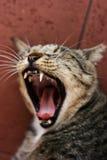 Gatto che sbadiglia Immagine Stock