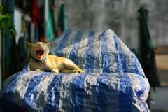 Gatto che sbadiglia Fotografia Stock