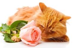 Gatto che sente l'odore di una rosa Immagine Stock Libera da Diritti