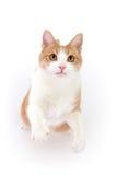 Gatto che si leva in piedi sui piedini posteriori fotografia stock libera da diritti