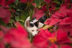 Gatto che si nasconde in fiore rosso Fotografia Stock