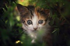 Gatto che si nasconde nel cespuglio Fotografia Stock
