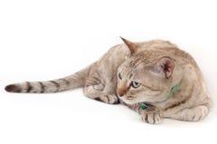 Gatto che si riposa sul fondo bianco Fotografia Stock Libera da Diritti