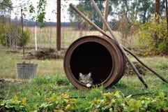 Gatto che si siede e che guarda dal vecchio barilotto del ferro in giardino immagini stock