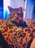 Gatto che si siede su una coperta della stampa della pantera Immagine Stock