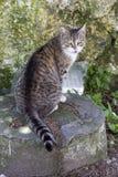 Gatto che si siede su una roccia Immagini Stock Libere da Diritti