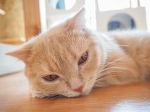 Gatto che si siede sul pavimento Immagine Stock