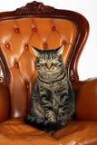Gatto che si siede sulla presidenza Fotografia Stock Libera da Diritti